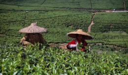 Naised teepõllul